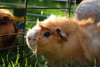 Léčit umí nejen psi, ale i morčata
