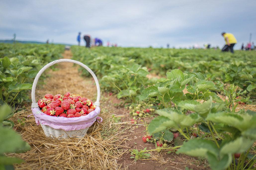 Jahodová pole jsou dostupná i v Praze