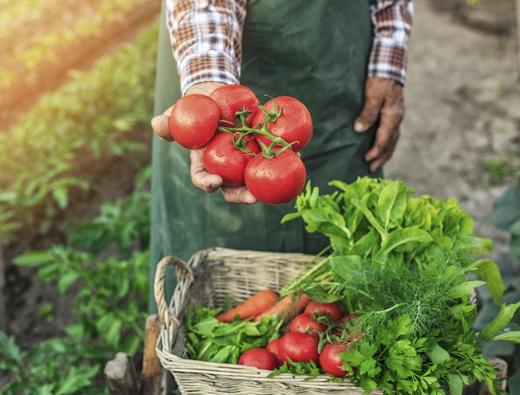 Vybírejte česká rajčata
