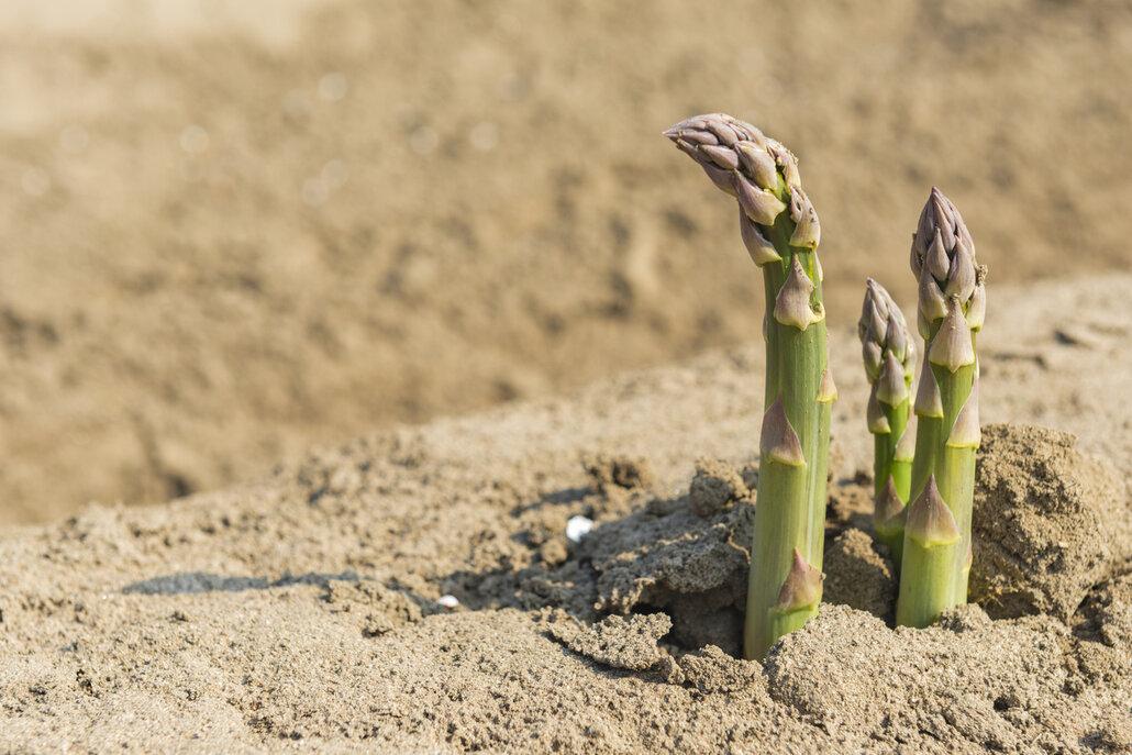 Chřestové stonky vyrůstají každý den o více než 15 cm
