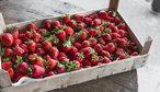 Samosběr jahod: Kde nasbírat jahody za poloviční cenu, než koupíte v obchodě