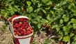 Čerstvě natrhané jahody chutnají božsky! Relativně rychle se ale kazí. Pokud si je chcete uchovat na horší časy v té nejčerstvější podobě, vsaďte na mrazák