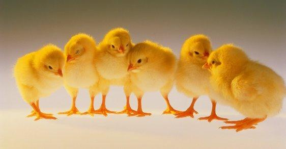 Podávání antibiotik kuřatům je v EU od roku 2006 zakázáno.