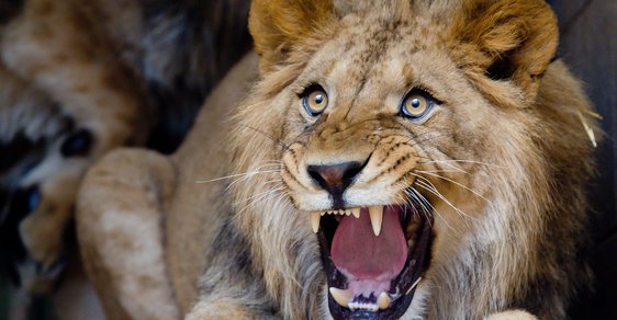 Lev se pomstil pytlákovi