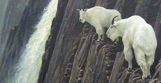 Nejzdatnější horolezci? Kamzíci a ti druzí