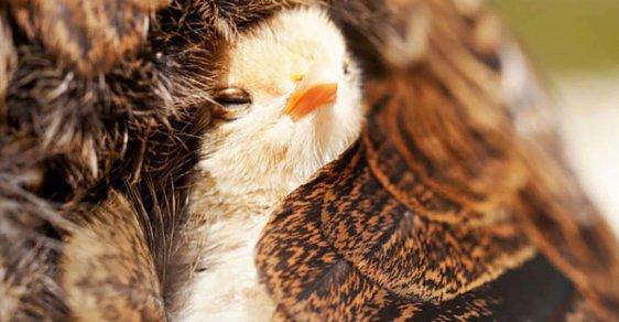 Žádná krkavčí matka: Ptáci se o mladé starají do roztrhání těla