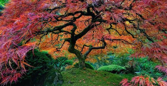 """""""Živý plot"""" ze Hry o trůny, japonský javor i tisíciletý dub. Podívejte se na nejimpozantnější stromy světa"""