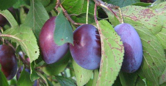 Kvůli dubnovým mrazům ovocnáři letos sklidí až o třetinu méně než švestek než loni. Celkové ztráty mohou dosáhnout až 400 milionů korun.