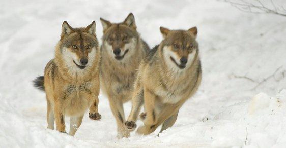Jak se z vlka stal pes a kdo z nich je chytřejší