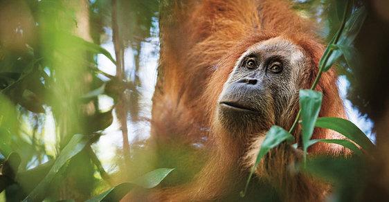 Orangutan tanapulský