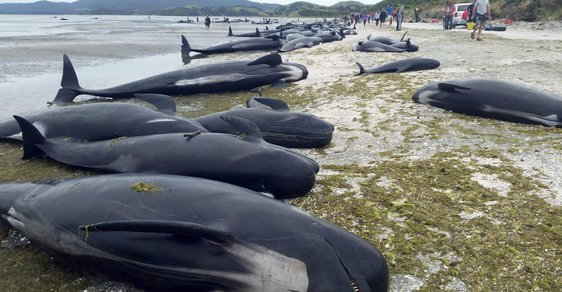 Záhada velrybích ztroskotání: Překvapivé vysvětlení hromadných sebevražd kytovců