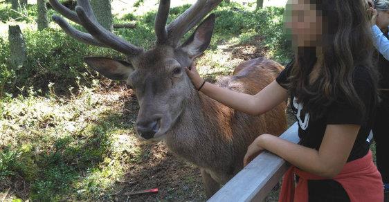 Názor myslivce: Zastřelit jelena Standu? Zvířata nejsou naši kamarádi, za svůj osud ale nemůže