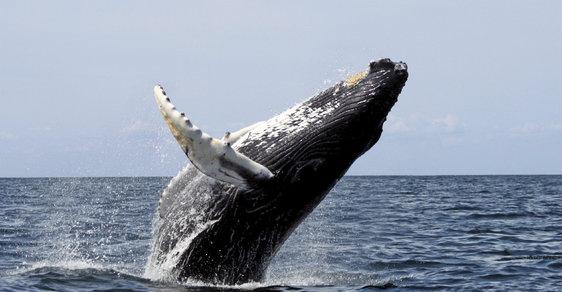 Whale watching je oblíbenou zábavou obdivovatelů velryb