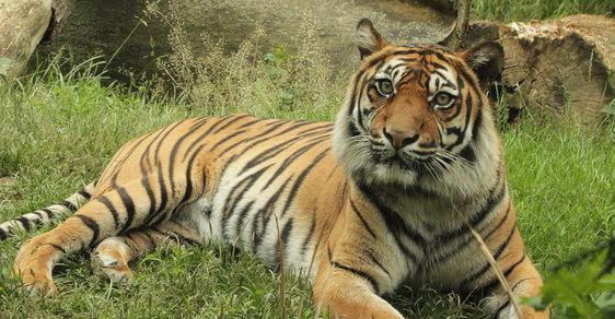 Tygr - Ilustrační snímek