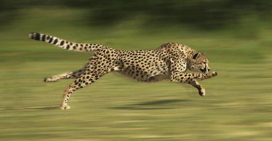 Na krátkou vzdálenost dokáže gepard vyvinout rychlost až 104 km/hod