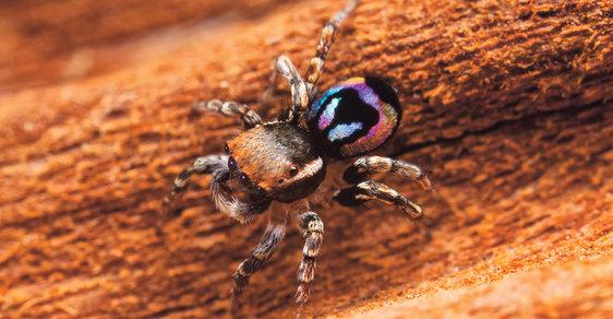 Pacvouci skákavky (Salticidae) jsou nejpočetnější čeledí pavouků na světě