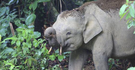 Záhada trpasličích slonů na Borneu. Kde a kdy se na ostrově objevili?