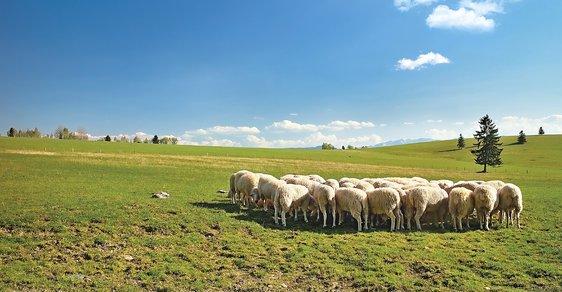 Salaše v ohrožení: Slovensko se potýká s nedostatkem tradičních pastevců ovcí