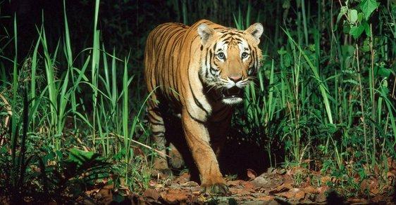 Pokud je z domácího chovu, je tygr jen jedním z druhů jídla.
