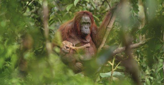 Czech Press Photo zná své vítěze. Fotografií roku je snímek samice orangutana s umírajícím mládětem
