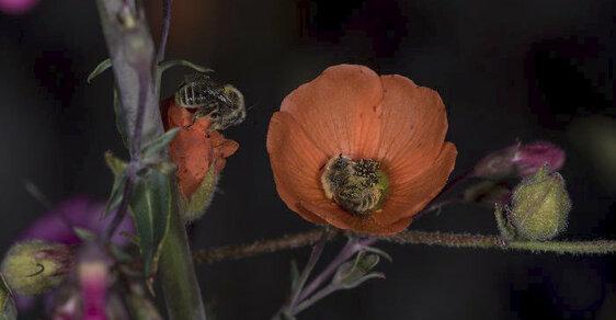 Včely většinou spí v úlu, některé ale své vzpomínky oživují uvnitř květů. Tento druh včel nazývaný Diadasia diminuta u nás nepotkáte. Vyskytuje se pouze v Severní a Střední Americe.