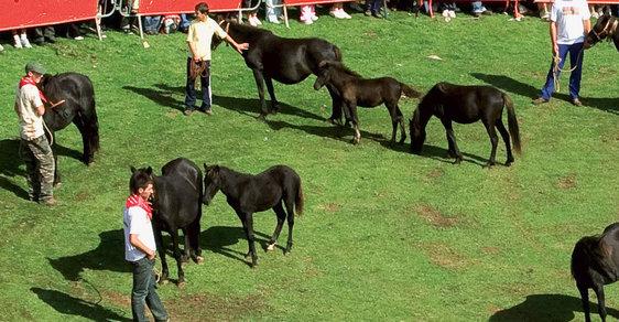 Fiesta del Asturcón: Ojedinělá slavnost asturských koní na severu Španělska