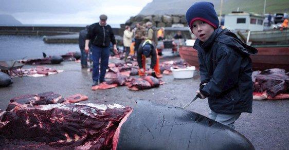 Trochu jiná zabijačka: Krvavá fotoreportáž z tradičního faerského lovu velryb