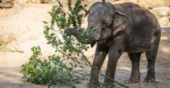 Pražská ZOO slaví: Slonice Gulab, druhé nejstarší zvíře v zahradě, slaví šedesáté narozeniny