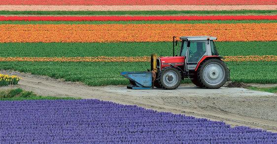 Tulipány: Barevný a voňavý symbol Nizozemska, který přicestoval z Čech