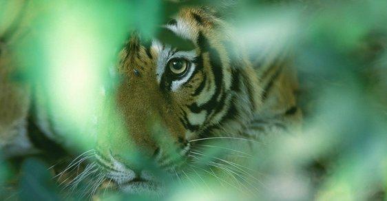 Výprava mezi mangrovy do největší říční delty na světě aneb Dobře schovaný bengálský tygr