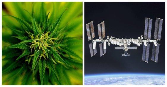 Konopí ve vesmíru: Vědci budou experiment monitorovat na dálku