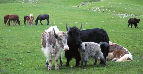 Jaci: Za ohroženými i domestikovanými obry do vysokohorských oblastí centrální Asie
