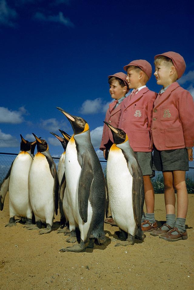 Londýnští školáci pózují s tučňáky kráovskými v London zoo, 1953