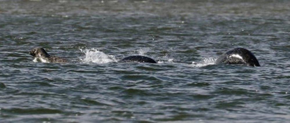 Bájná Nessie nebo tuleni? Ian Bremmer vyfotografoval podivné zvíře v jezeře LochNess.
