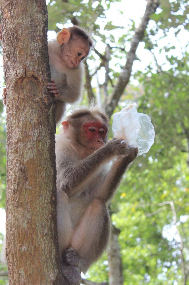 Opice jsou natolik protřelé, že se vůbec nebojí a hrození klackem nebo kamenem je drží tak tak v minimálním odstupu.