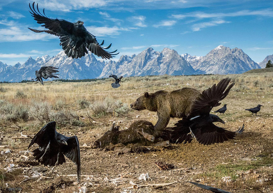 V americkém národním parku Grand Teton svádí souboj hejno krkavců s medvědem grizzlym o mršinu bizona