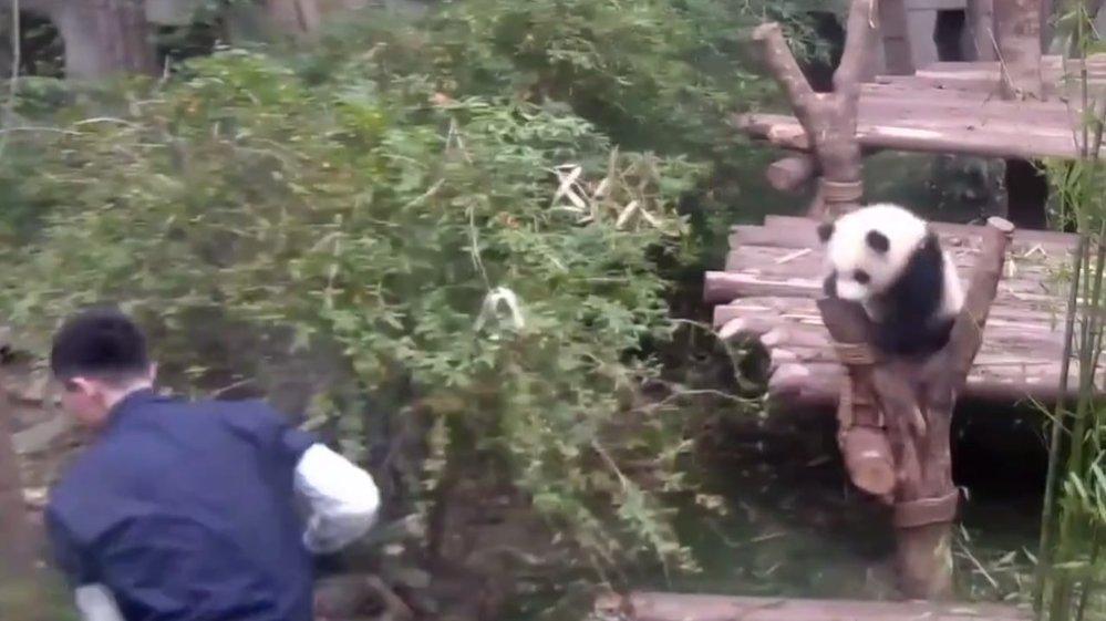 Malá panda se stala hitem internetu. Svého ošetřovatele nenechá odejít na krok
