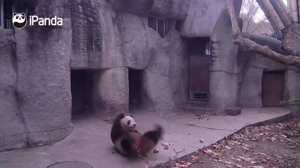 Panda velká umí i základní cviky.