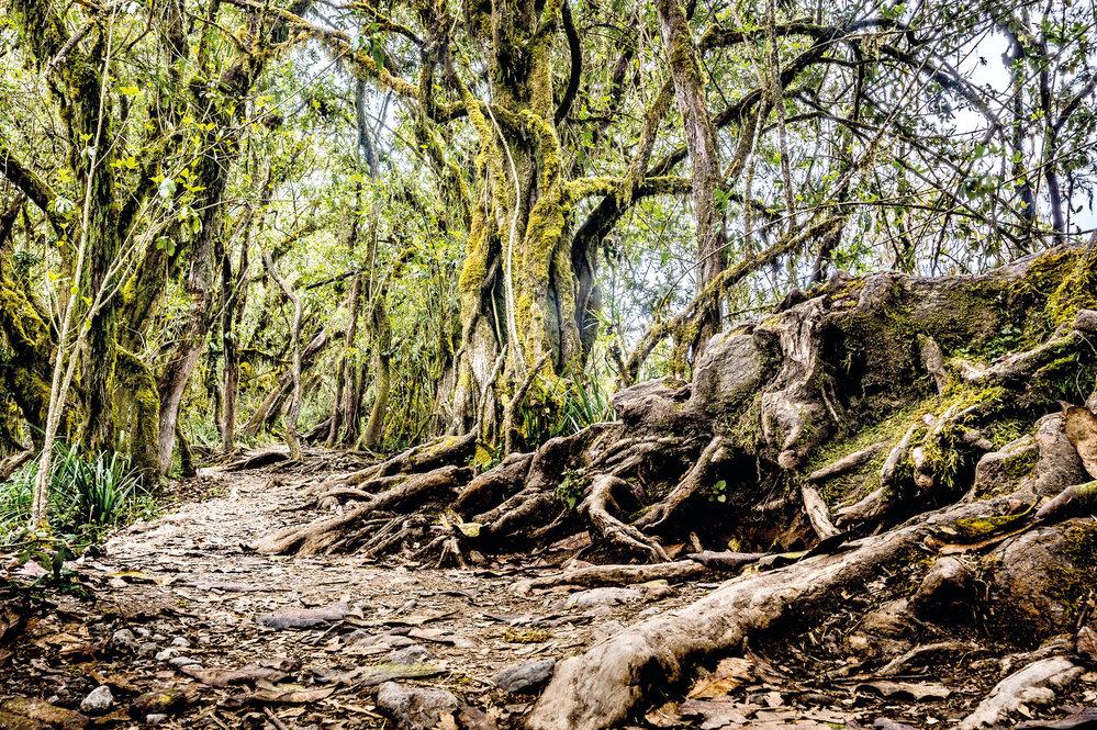 Výstupová cesta Machame se vine tímto vznešeným deštným lesem. Neskutečná nádhera!