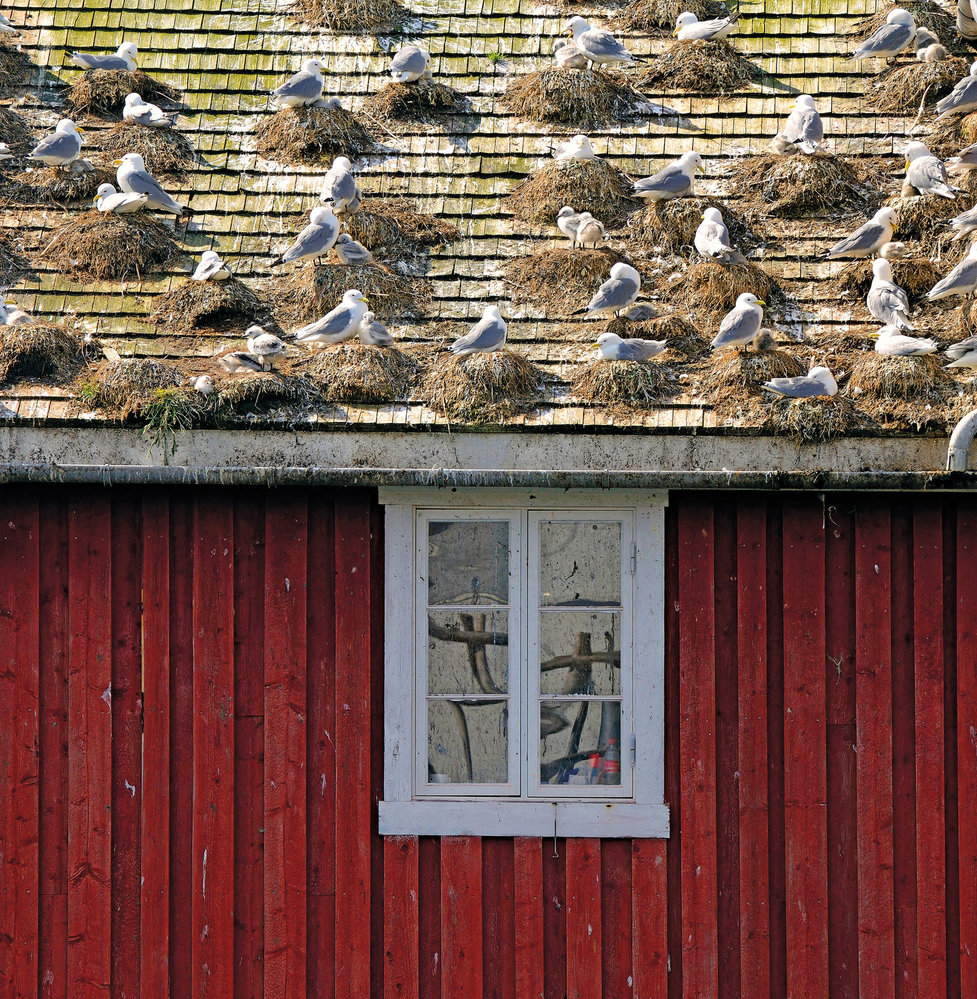 Kolonie racků vRørviku