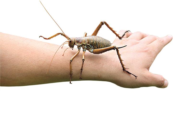 Obří wety rodu Deinacrida měří bez nohou a tykadel až 10 cm a váží přes 30 g