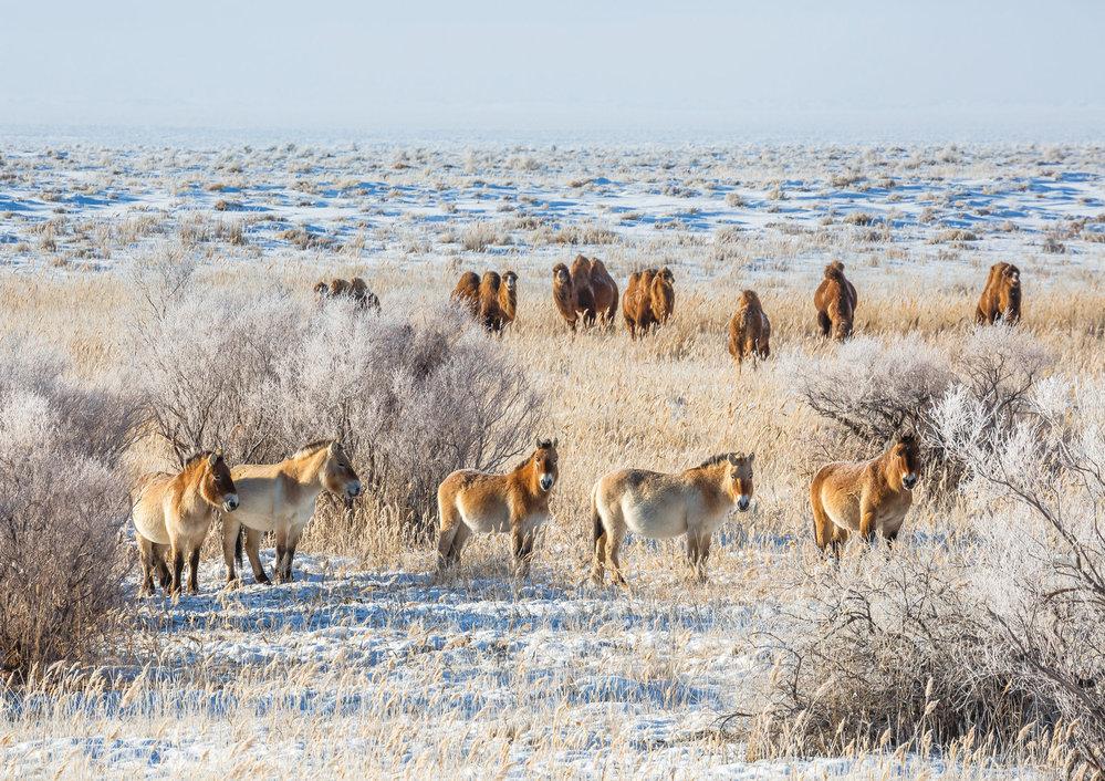 Koně Převalského se skupinou velbloudů