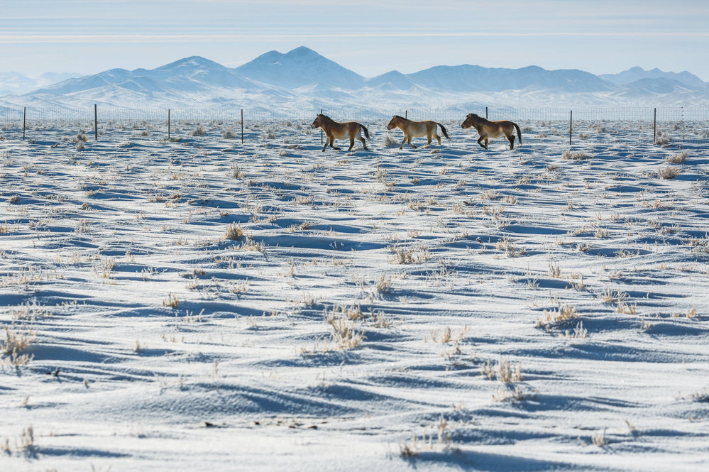 Aklimatizační ohrada pro koně Převalského. V této ohradě tráví první zimu v Gobi po transportu z Evropy.