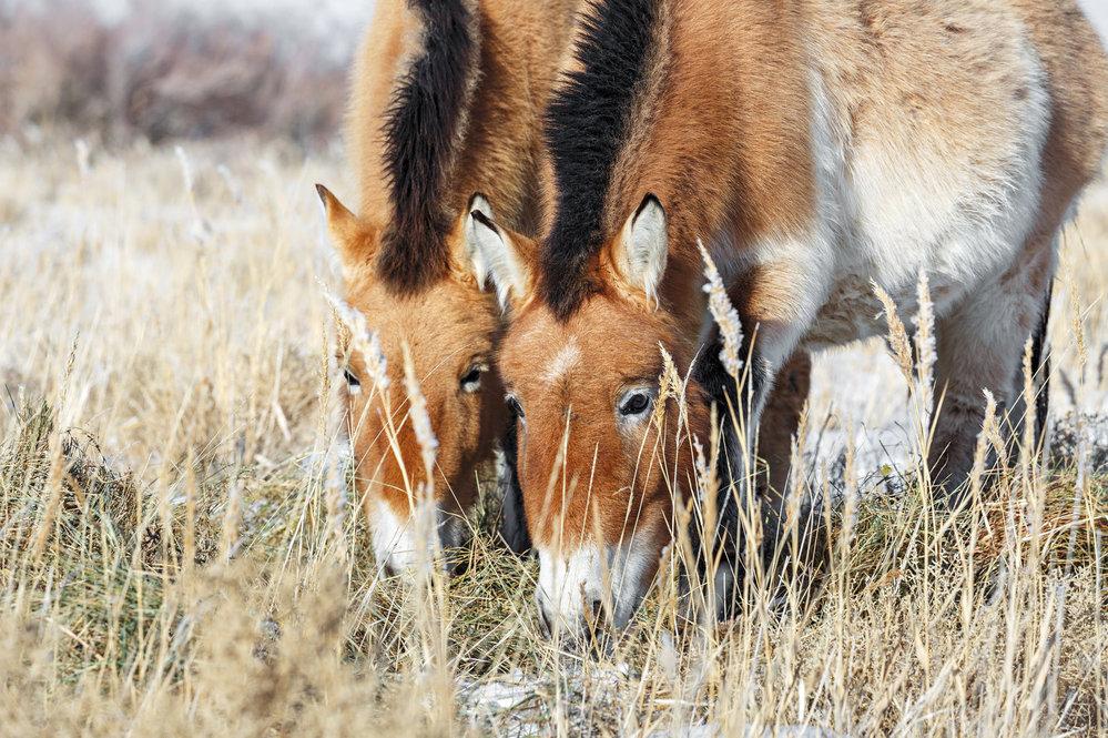 Koně Převalského v zimě chrání hustá srst