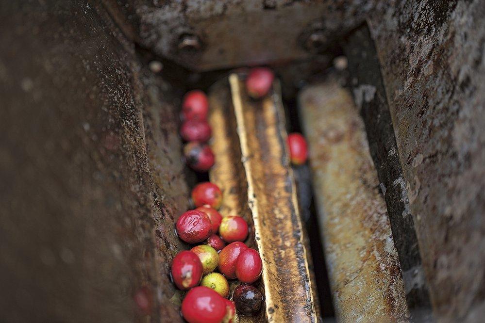 Ruční mlýnek nakávové třešně, ihned posklizni je třeba zbavit kávová zrnka červené slupky