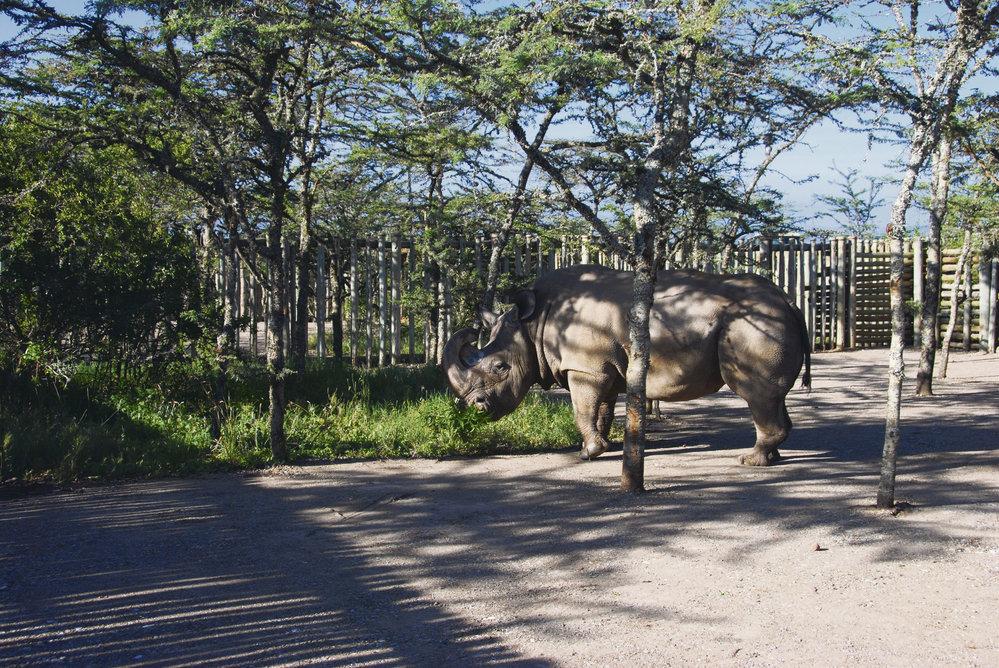 Nosorožec Sudán patřil ZOO Dvůr Králové nad Labem.