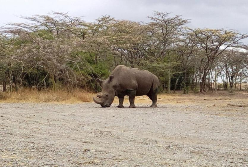 Samec Sudán v keňské rezervaci Ol Pejeta