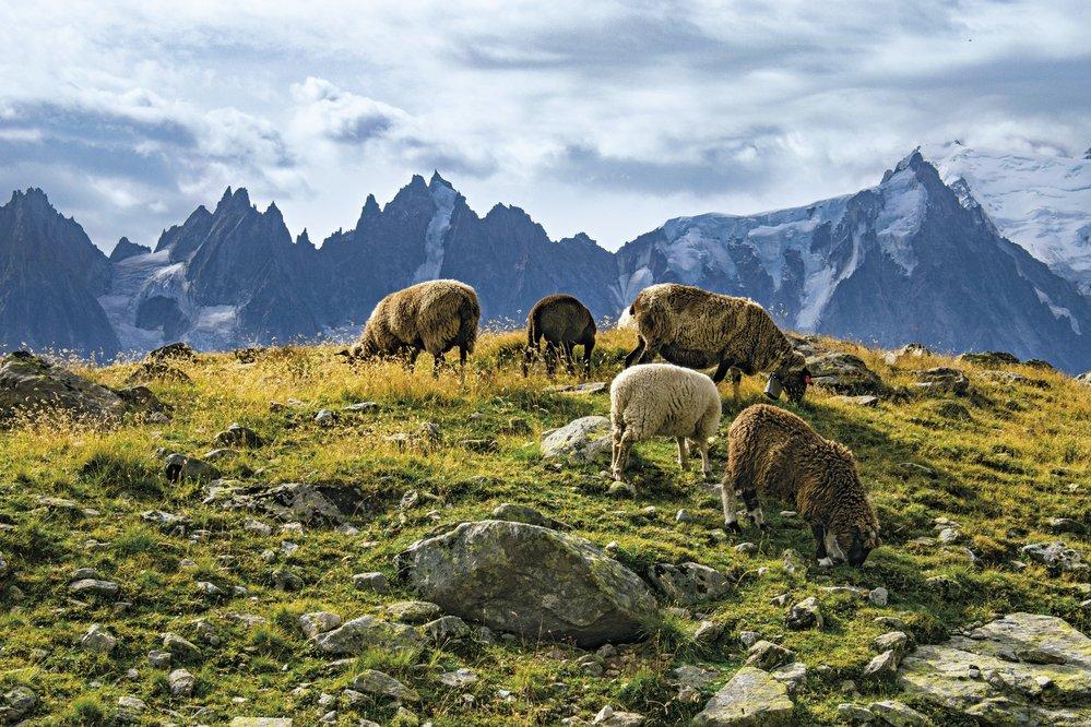 Ovce pasoucí se naletních pastvinách, vpozadí Mont Blanc adalší modravé štíty alpských velikánů