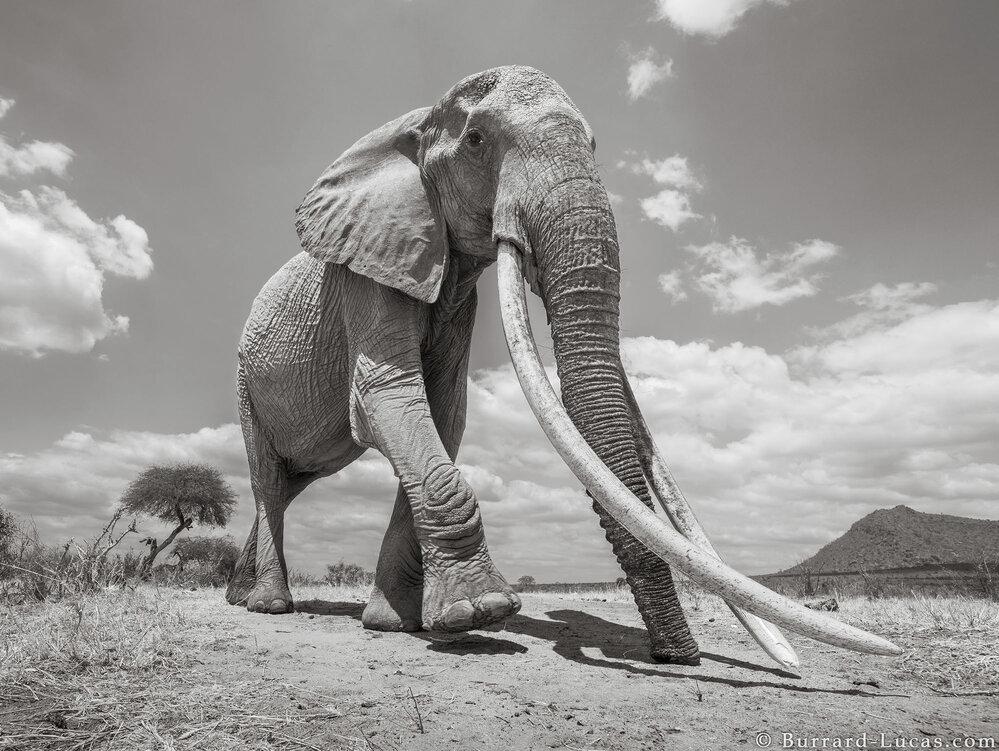 Sloní královna. Podobných žije na Zemi odhadem už jen dvacet jedinců.