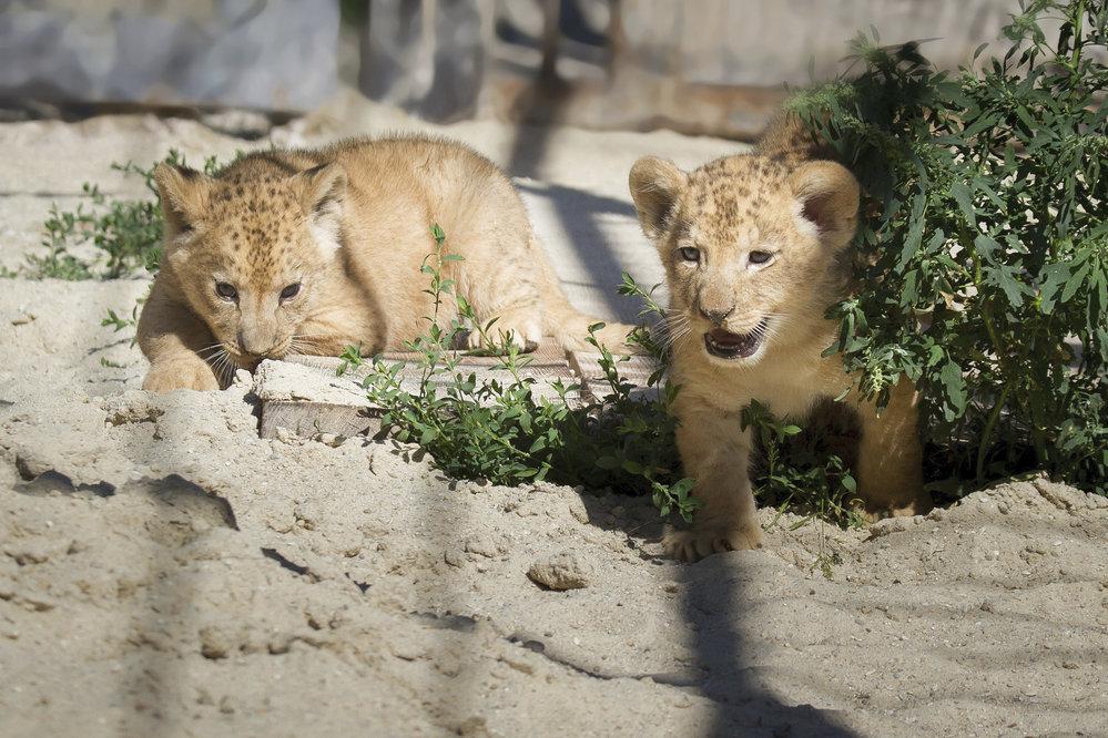 V Safari Parku ve Dvoře Králové se narodila mláďata lvů berberských.
